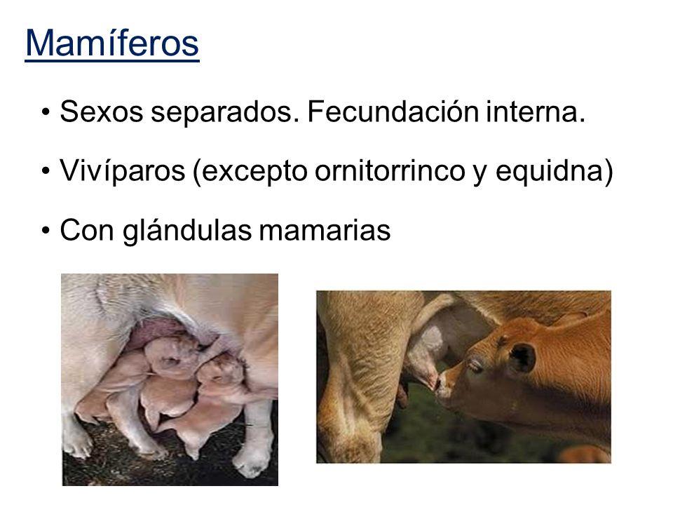 Mamíferos Sexos separados. Fecundación interna.