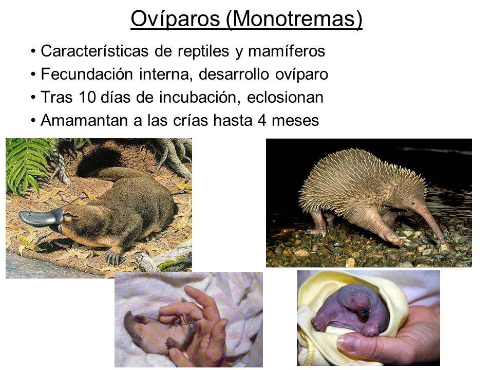 Ovíparos (Monotremas)