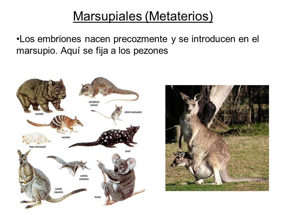 Marsupiales (Metaterios)