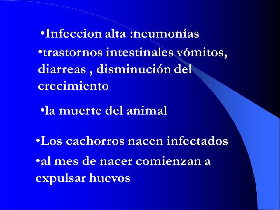 Infeccion alta :neumonías