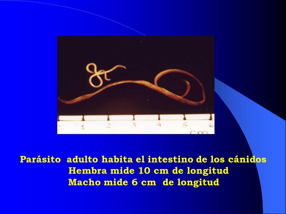 Hembra mide 10 cm de longitud Macho mide 6 cm de longitud