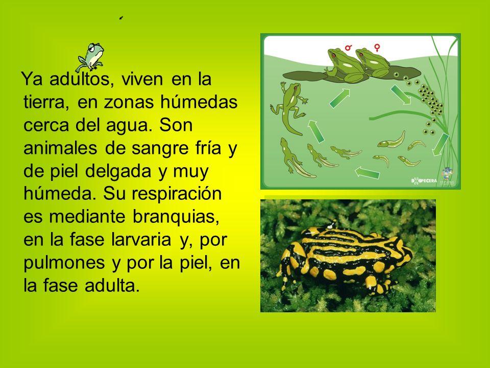Ya adultos, viven en la tierra, en zonas húmedas cerca del agua