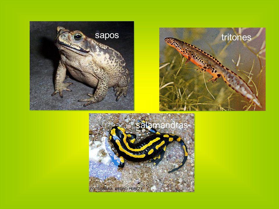 sapos tritones salamandras