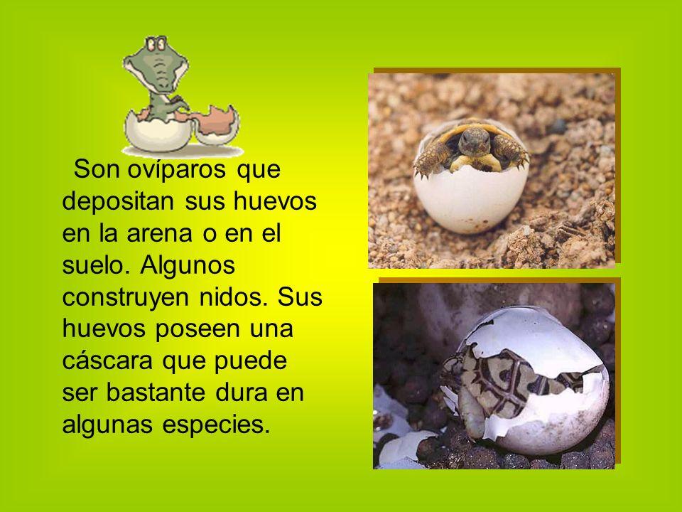 Son ovíparos que depositan sus huevos en la arena o en el suelo