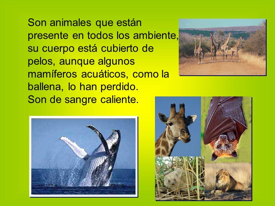 Son animales que están presente en todos los ambiente, su cuerpo está cubierto de pelos, aunque algunos mamíferos acuáticos, como la ballena, lo han perdido.