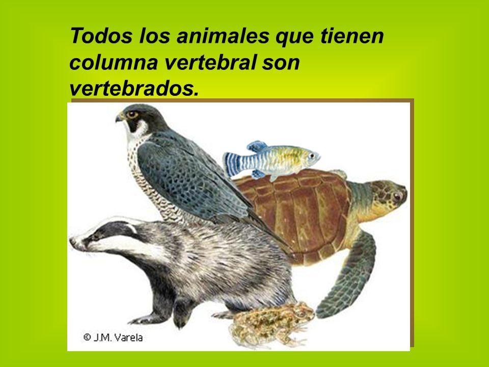 Todos los animales que tienen columna vertebral son vertebrados.