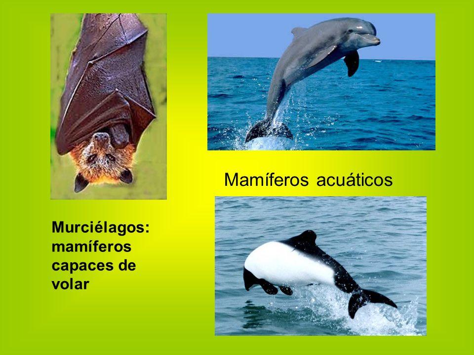 Mamíferos acuáticos Murciélagos: mamíferos capaces de volar