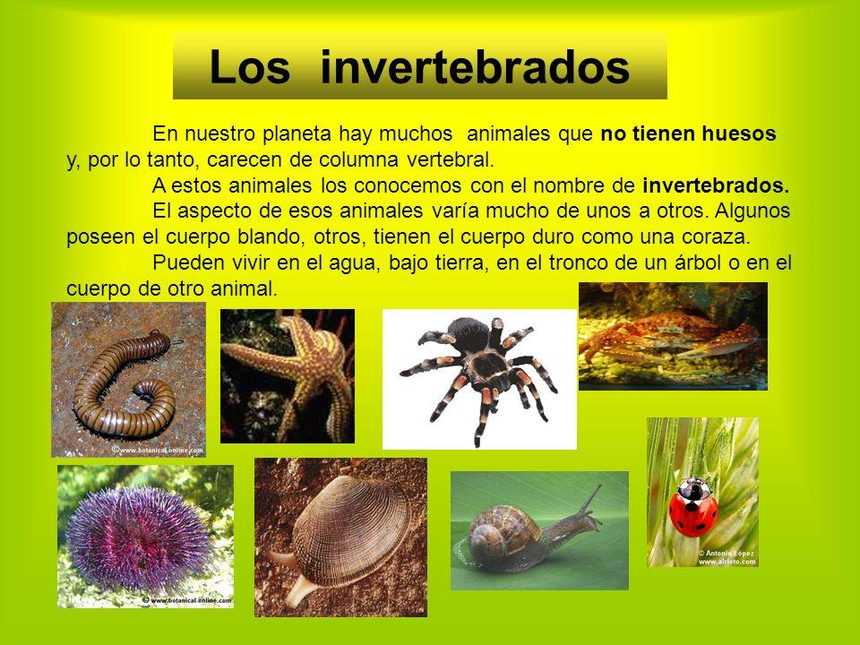 Los invertebrados En nuestro planeta hay muchos animales que no tienen huesos y, por lo tanto, carecen de columna vertebral.