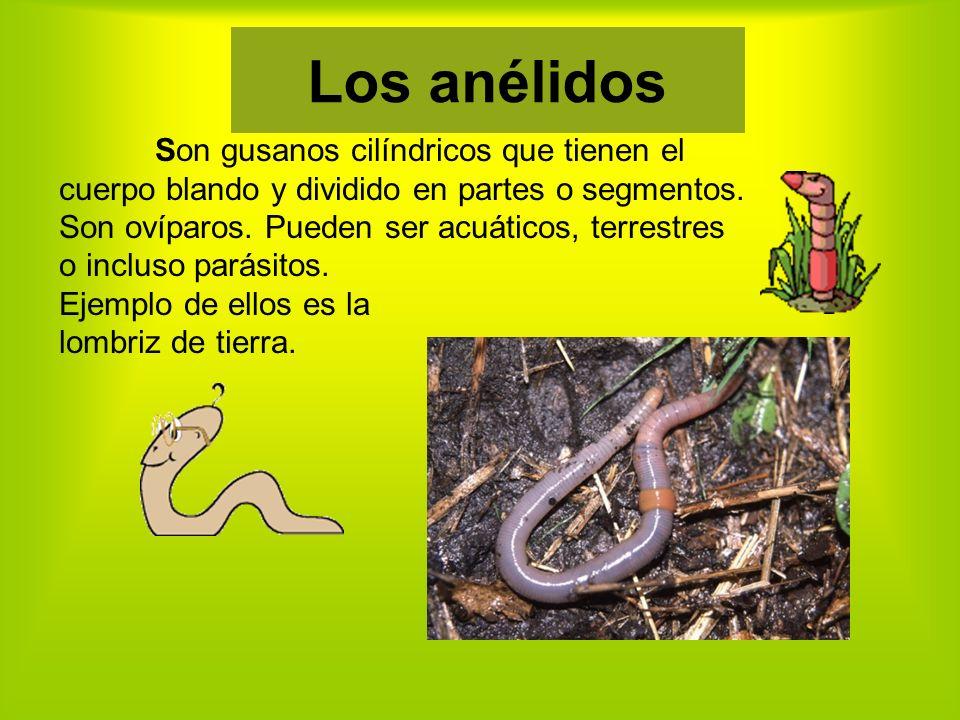 Los anélidos Son gusanos cilíndricos que tienen el