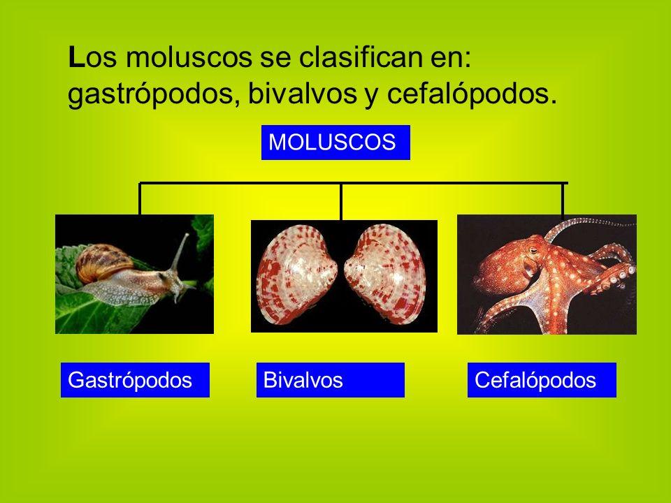 Los moluscos se clasifican en: gastrópodos, bivalvos y cefalópodos.
