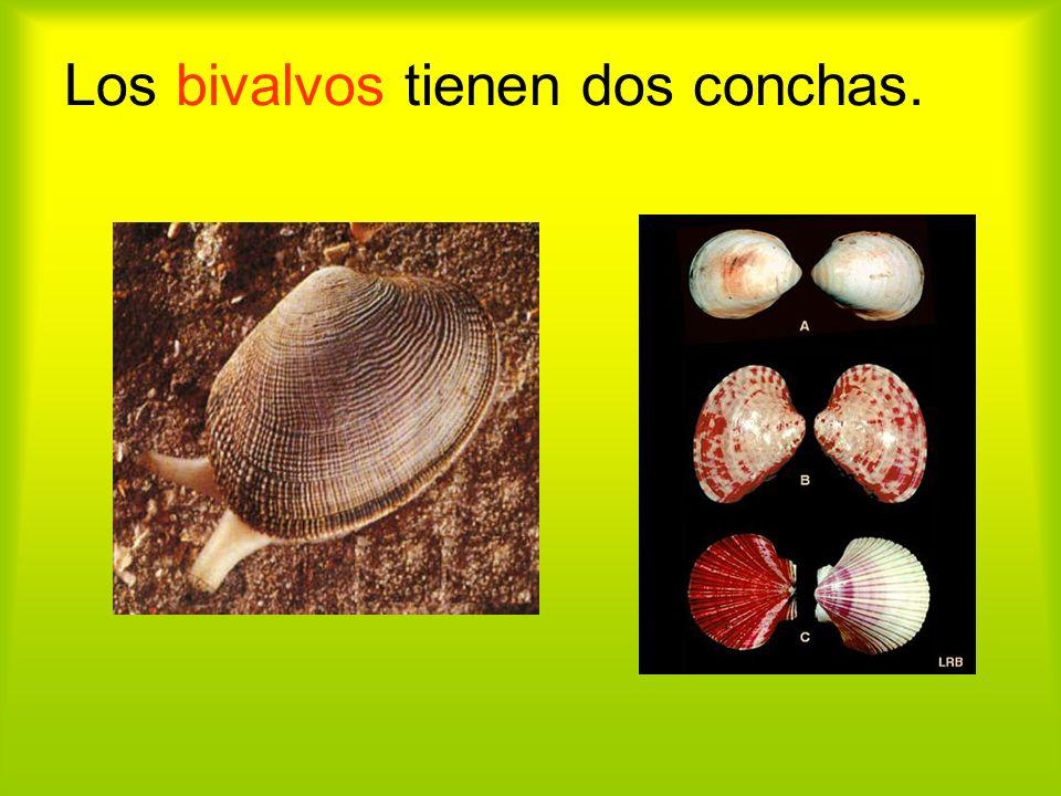 Los bivalvos tienen dos conchas.