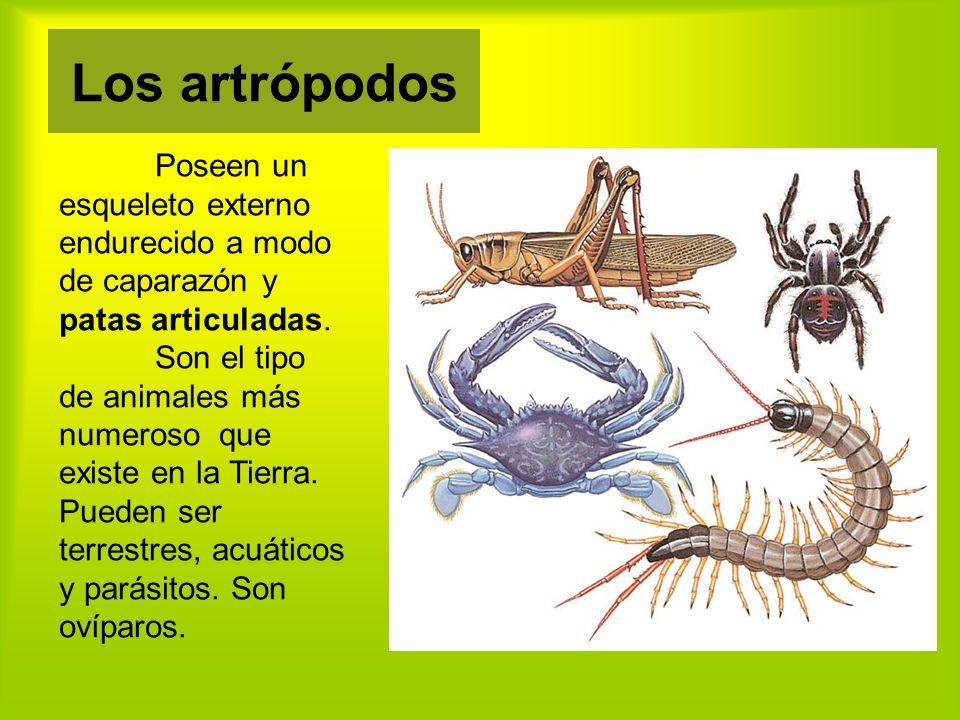 Los artrópodos Poseen un esqueleto externo endurecido a modo de caparazón y patas articuladas.