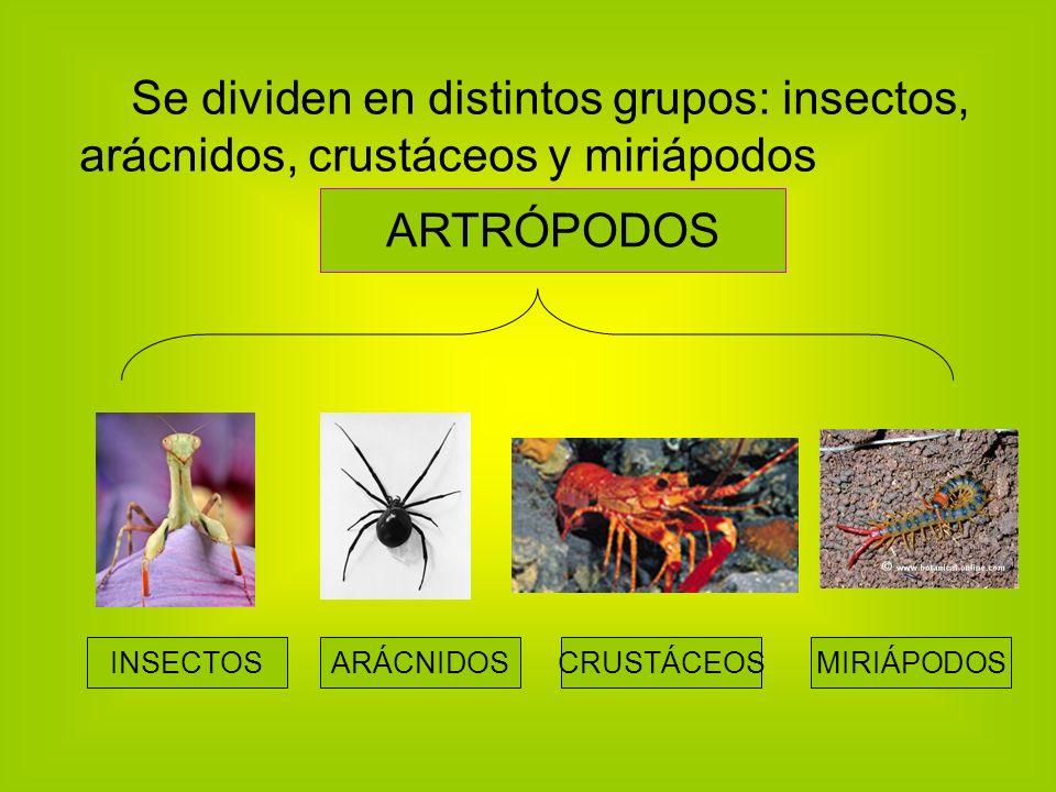 Se dividen en distintos grupos: insectos, arácnidos, crustáceos y miriápodos