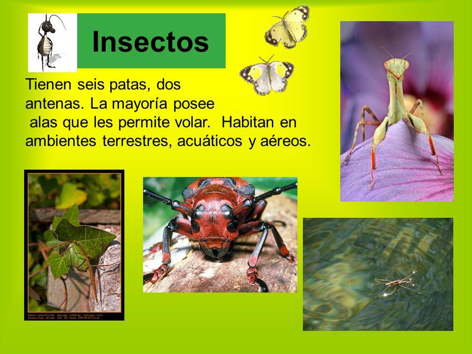 Insectos Tienen seis patas, dos antenas. La mayoría posee
