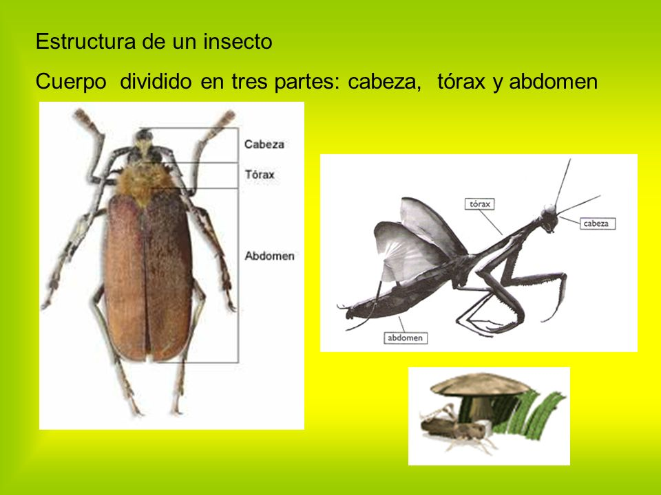Estructura de un insecto