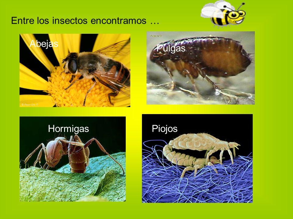 Entre los insectos encontramos …