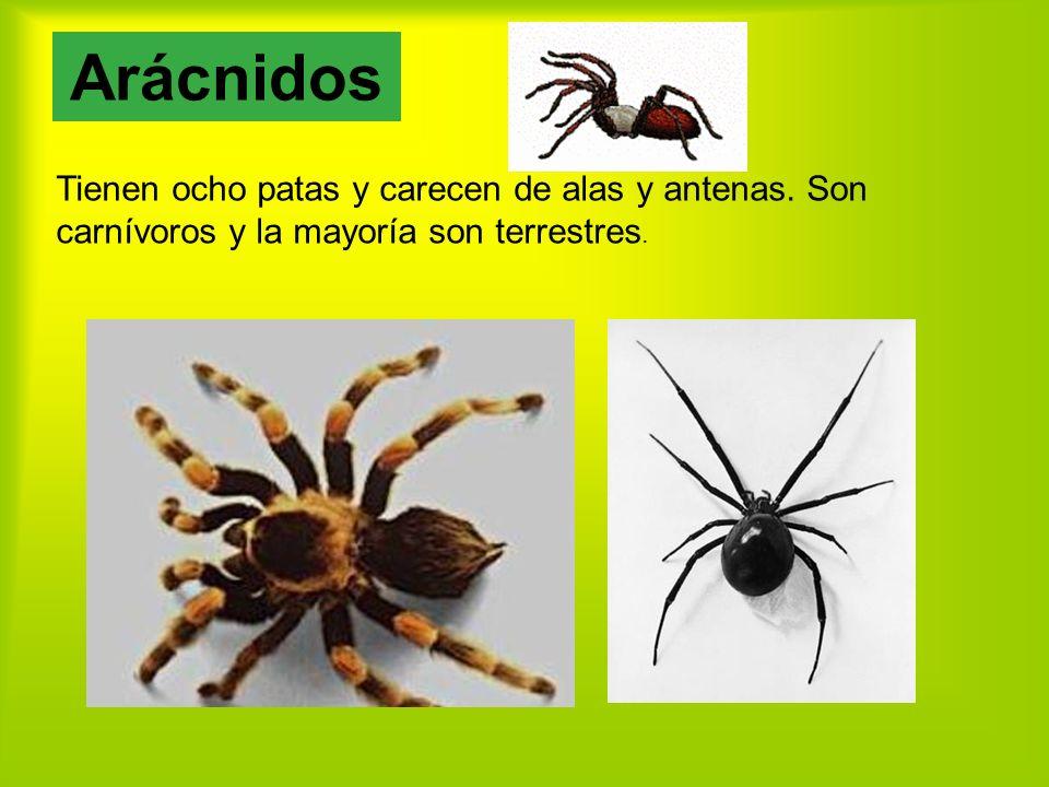 Arácnidos Tienen ocho patas y carecen de alas y antenas.