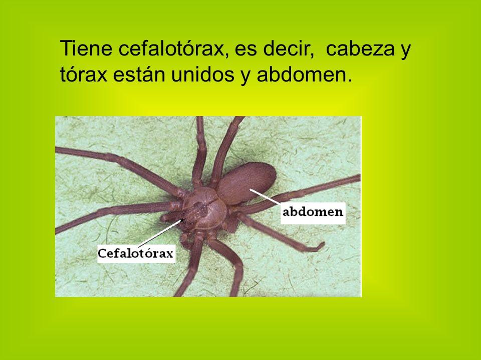 Tiene cefalotórax, es decir, cabeza y tórax están unidos y abdomen.