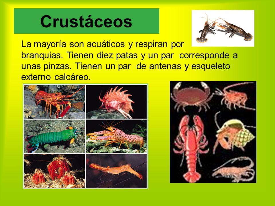 Crustáceos La mayoría son acuáticos y respiran por