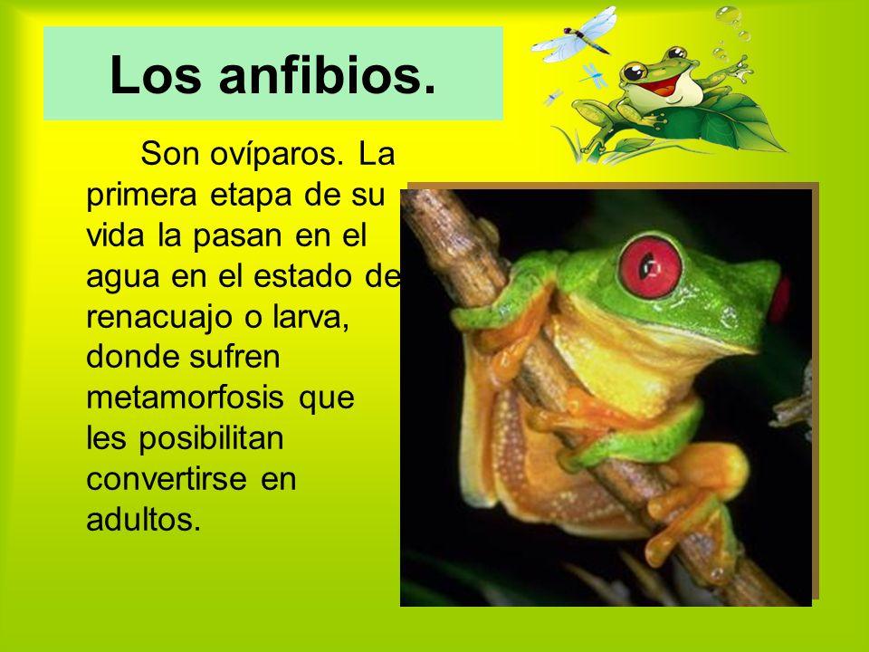 Los anfibios.