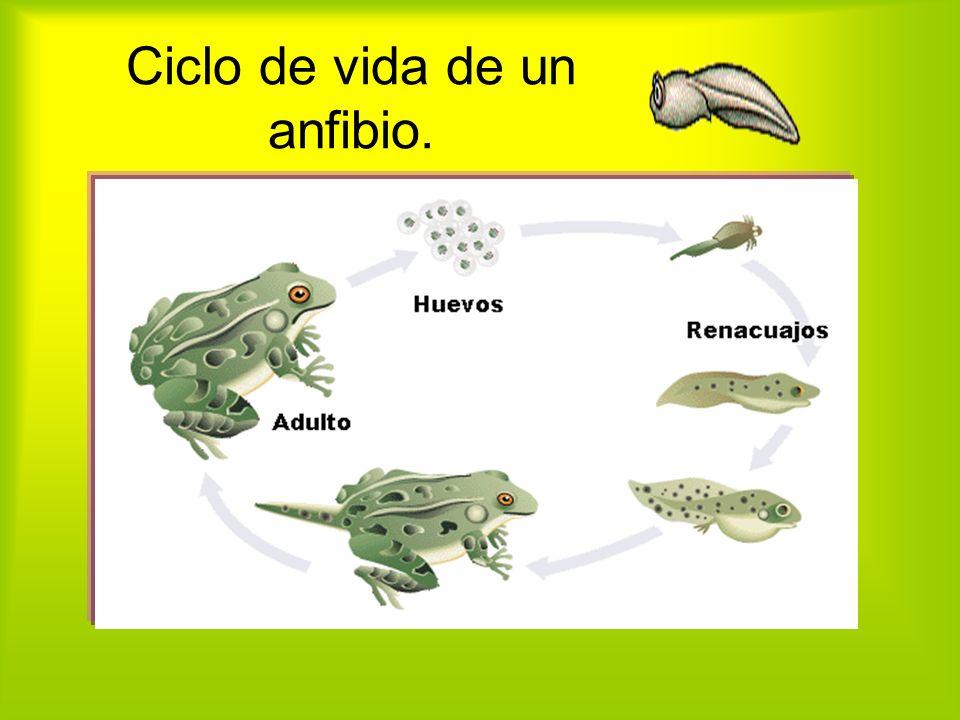 Ciclo de vida de un anfibio.