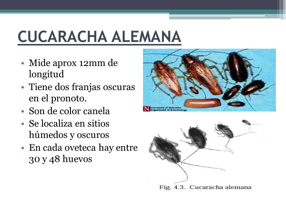 CUCARACHA ALEMANA Mide aprox 12mm de longitud