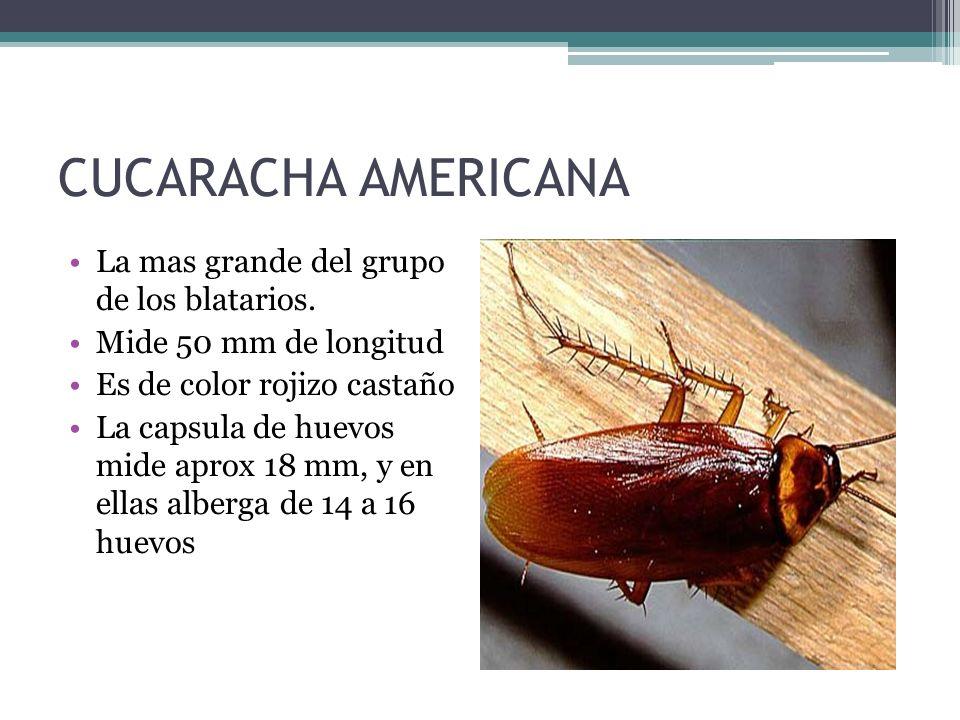 CUCARACHA AMERICANA La mas grande del grupo de los blatarios.