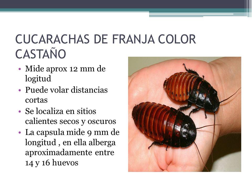 CUCARACHAS DE FRANJA COLOR CASTAÑO