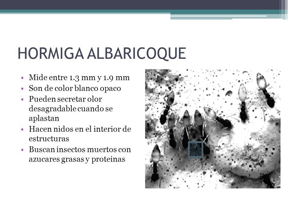 HORMIGA ALBARICOQUE Mide entre 1.3 mm y 1.9 mm
