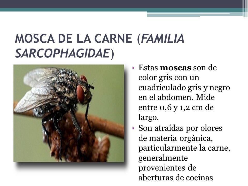 MOSCA DE LA CARNE (FAMILIA SARCOPHAGIDAE)