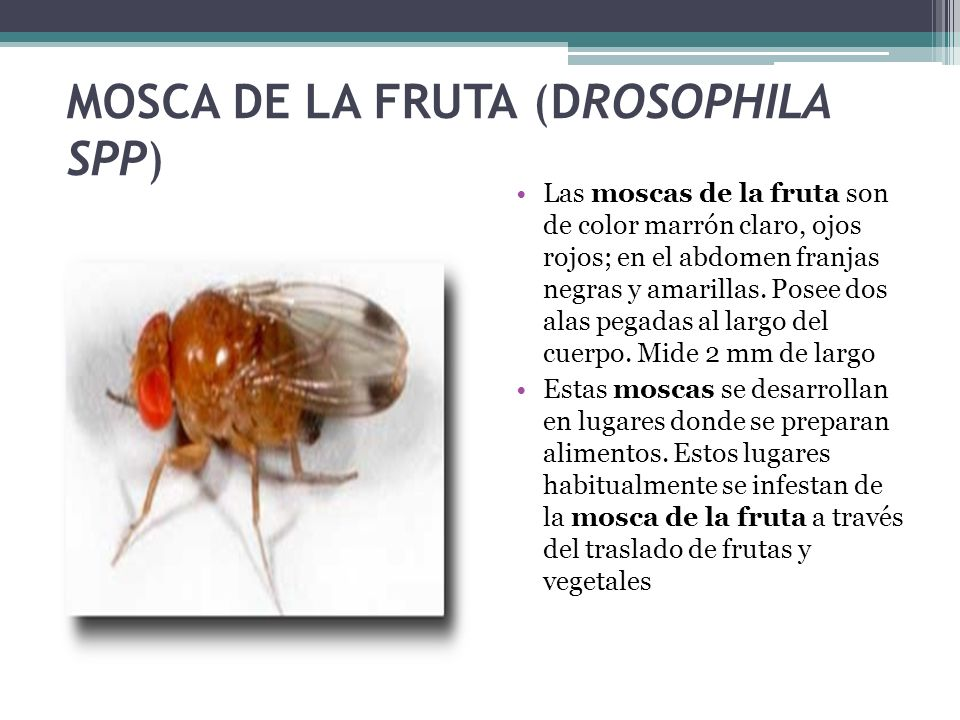 MOSCA DE LA FRUTA (DROSOPHILA SPP)