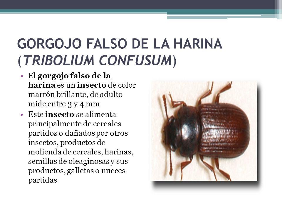 GORGOJO FALSO DE LA HARINA (TRIBOLIUM CONFUSUM)