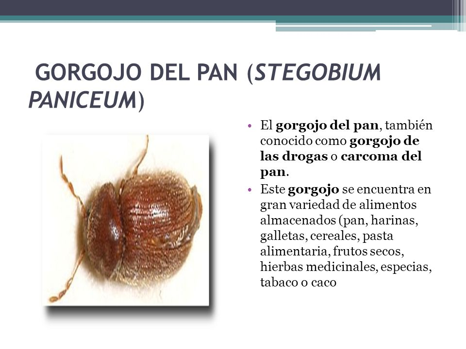 GORGOJO DEL PAN (STEGOBIUM PANICEUM)