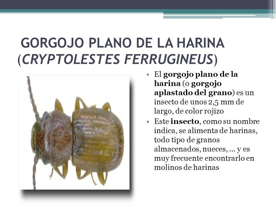 GORGOJO PLANO DE LA HARINA (CRYPTOLESTES FERRUGINEUS)
