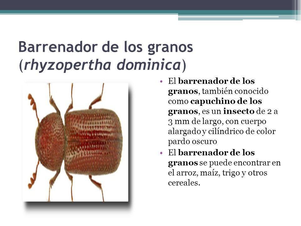 Barrenador de los granos (rhyzopertha dominica)