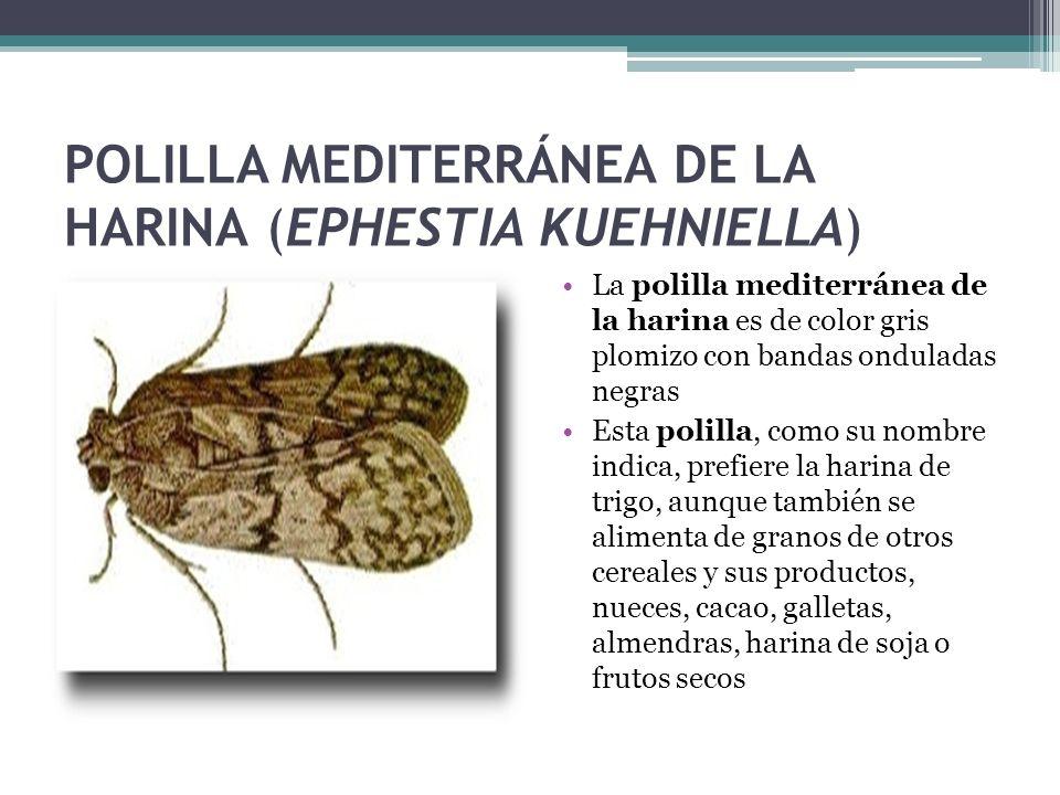 POLILLA MEDITERRÁNEA DE LA HARINA (EPHESTIA KUEHNIELLA)