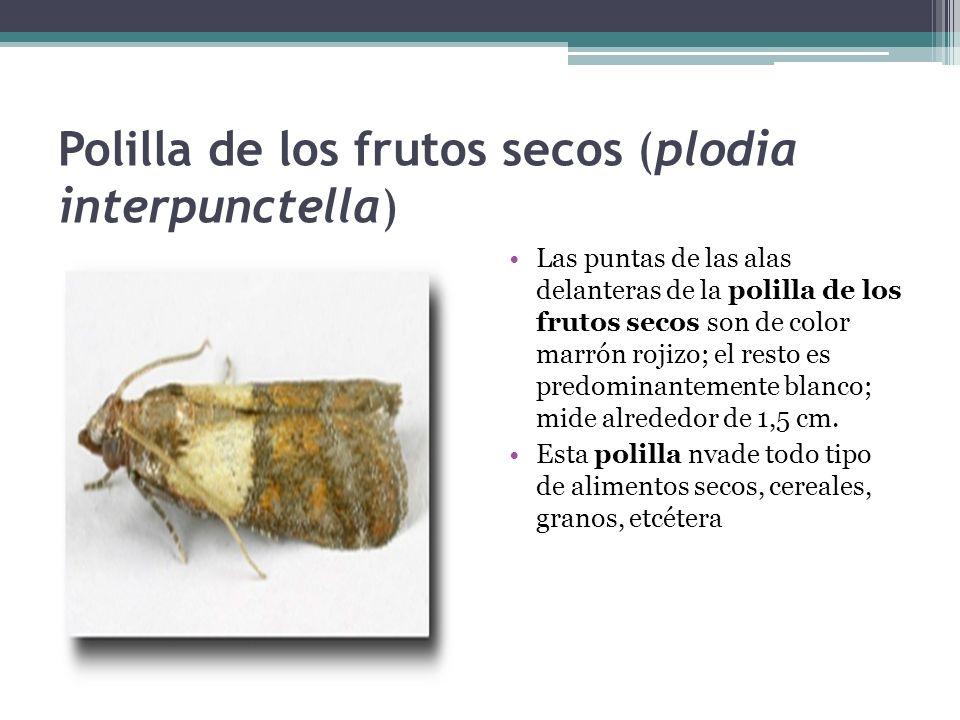 Polilla de los frutos secos (plodia interpunctella)