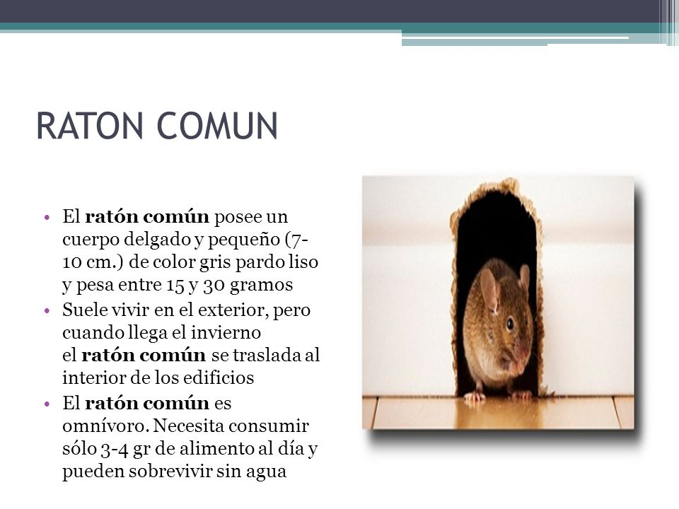 RATON COMUN El ratón común posee un cuerpo delgado y pequeño (7- 10 cm.) de color gris pardo liso y pesa entre 15 y 30 gramos.