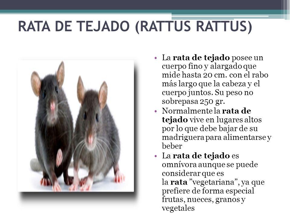 RATA DE TEJADO (RATTUS RATTUS)