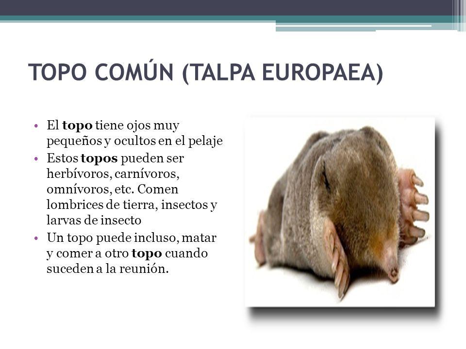 TOPO COMÚN (TALPA EUROPAEA)