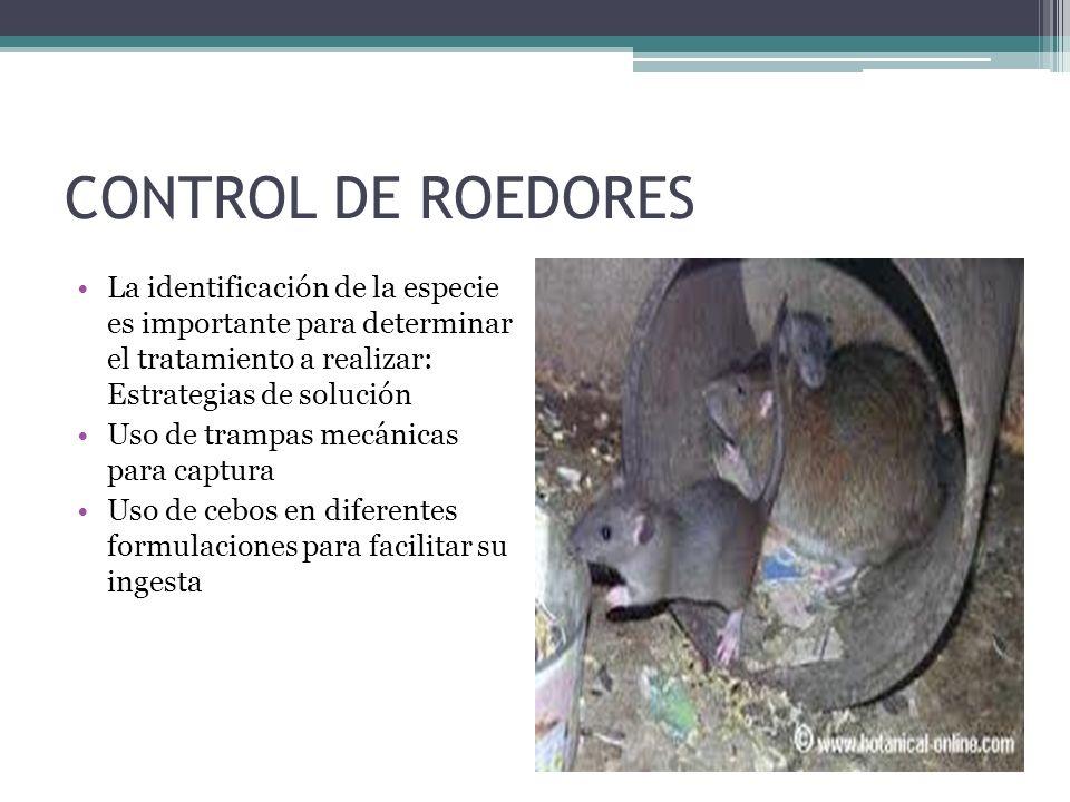 CONTROL DE ROEDORES La identificación de la especie es importante para determinar el tratamiento a realizar: Estrategias de solución.