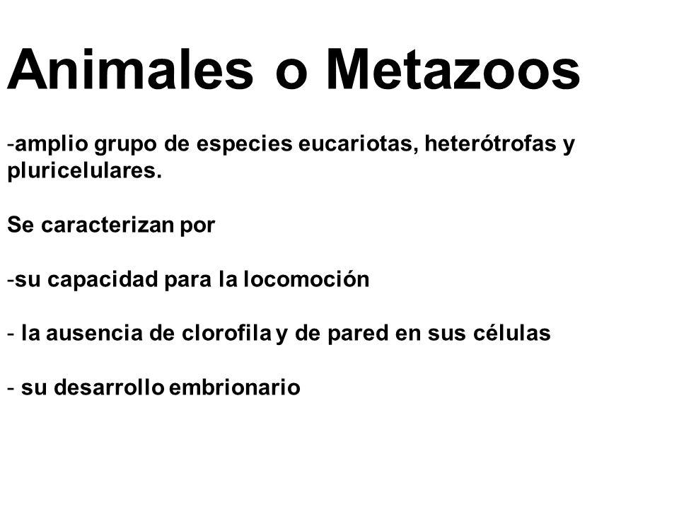 Animales o Metazoos amplio grupo de especies eucariotas, heterótrofas y pluricelulares. Se caracterizan por.