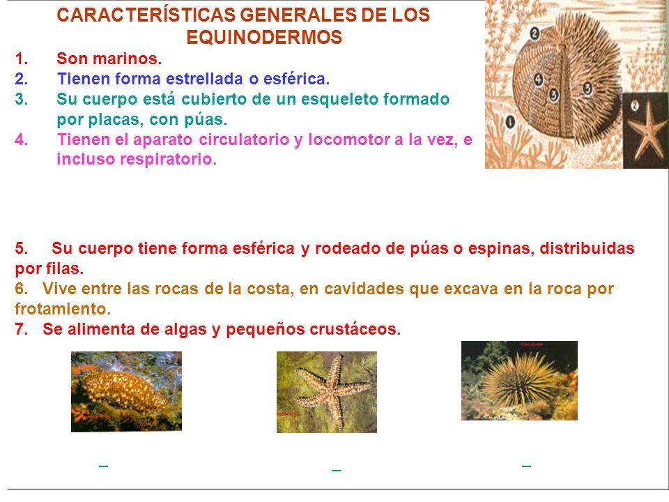 CARACTERÍSTICAS GENERALES DE LOS EQUINODERMOS