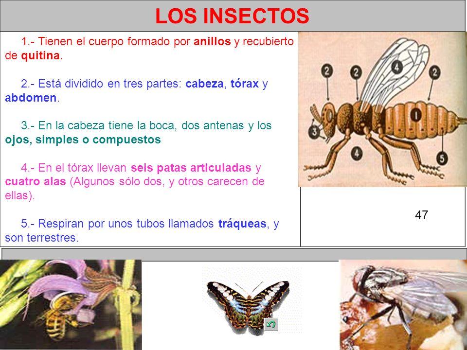 LOS INSECTOS 1.- Tienen el cuerpo formado por anillos y recubierto de quitina. 2.- Está dividido en tres partes: cabeza, tórax y abdomen.