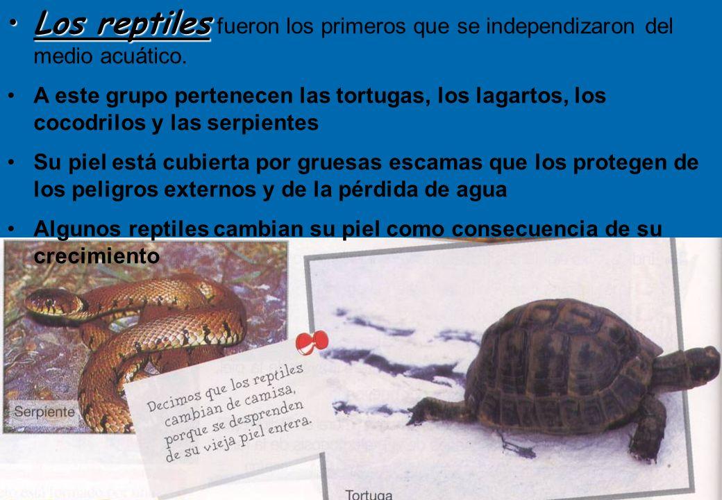 Los reptiles fueron los primeros que se independizaron del medio acuático.