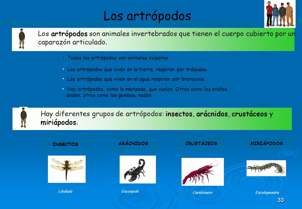 Los artrópodos Los artrópodos son animales invertebrados que tienen el cuerpo cubierto por un caparazón articulado.