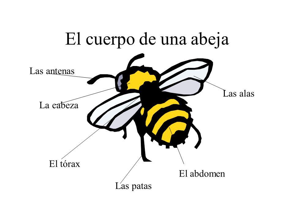 El cuerpo de una abeja Las antenas Las alas La cabeza El tórax