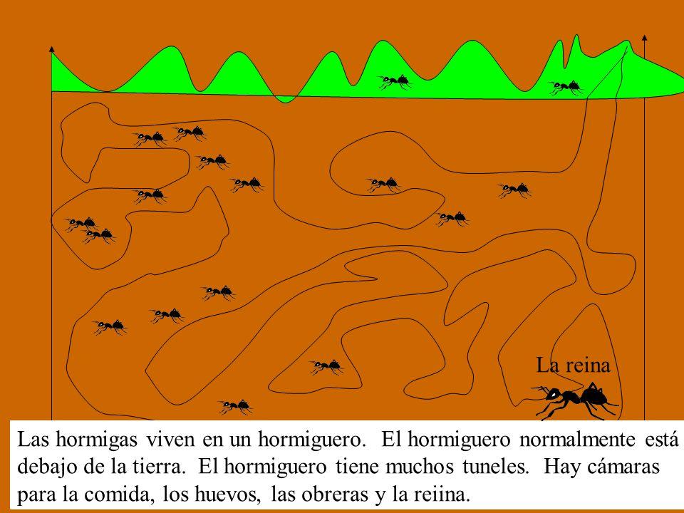 La reina Las hormigas viven en un hormiguero. El hormiguero normalmente está.