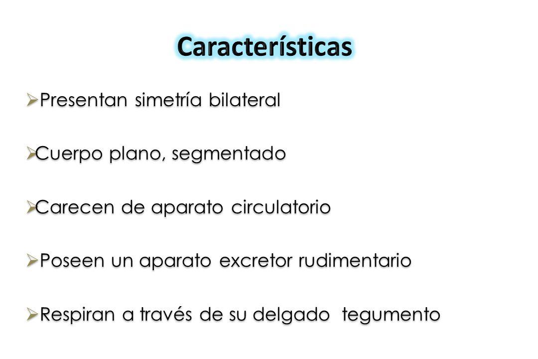 Características Presentan simetría bilateral Cuerpo plano, segmentado