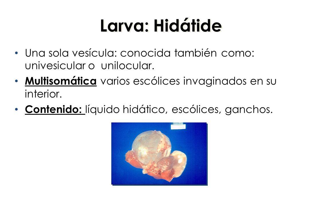 Larva: Hidátide Una sola vesícula: conocida también como: univesicular o unilocular. Multisomática varios escólices invaginados en su interior.